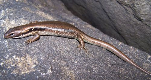Southern Water Skink - Eulamprus tympanum, Toolangi forest 2