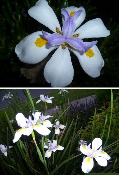 Dietes grandiflora/Fairy iris