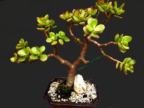 Bonsai idea - Jade Plant