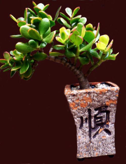 Bonsai - Variegated Jade Plant