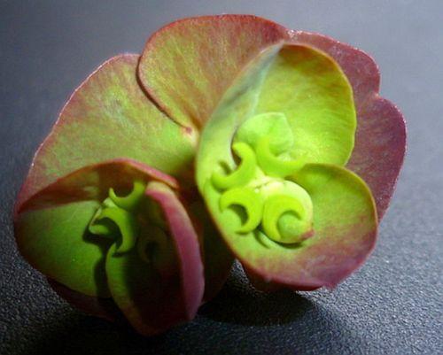 Euphorbia amygdaloides 'Craigieburn' - close up