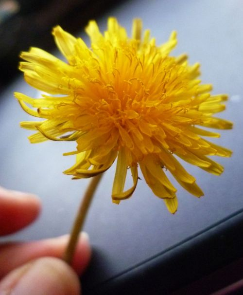 Flower - Dandelion - Taraxacum officianale
