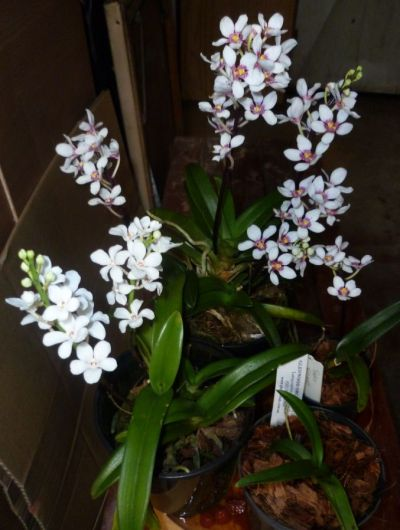 Australian Native Sarcochilus Orchids December 2013