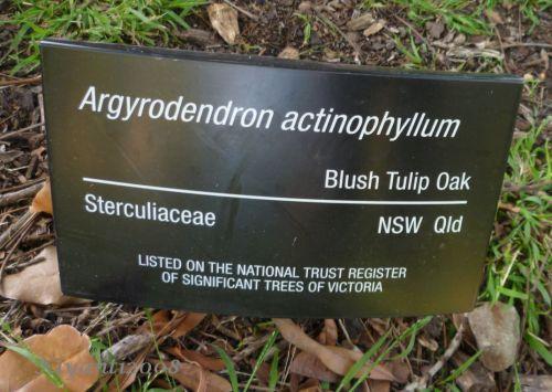Argyrodendron actinophyllum Sign