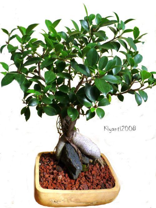 Small Ficus Bonsai 2 Square
