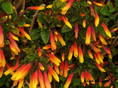 Jacobinia pauciflora 'Firefly'