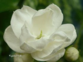Jasminum sambac - Bunga Melati Menur