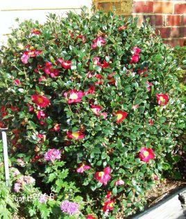 Camellia sasanqua 'Yuletide' - Single Red Flowers