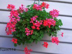 Pelargonium Single Red - Hanging Pot