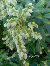 pieris-japonica-japanese-andromeda-flowers