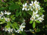 choysia-ternata-fragrant-white-flowers