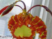 psychopsis-papilio-flower-stage-9-close-up