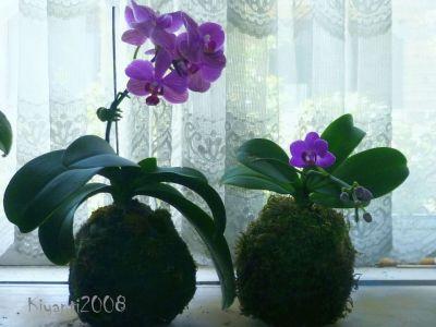 phalaenopsis-kokedama-phalaenopsis-orchids