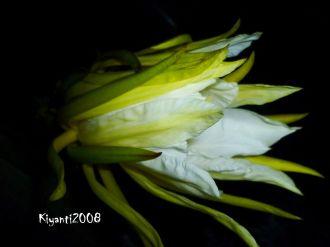 dragon-fruit-flower-hylocereus-sp-9-pm-february-28-2017