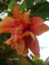 Hibiscus - Ruffled Orange